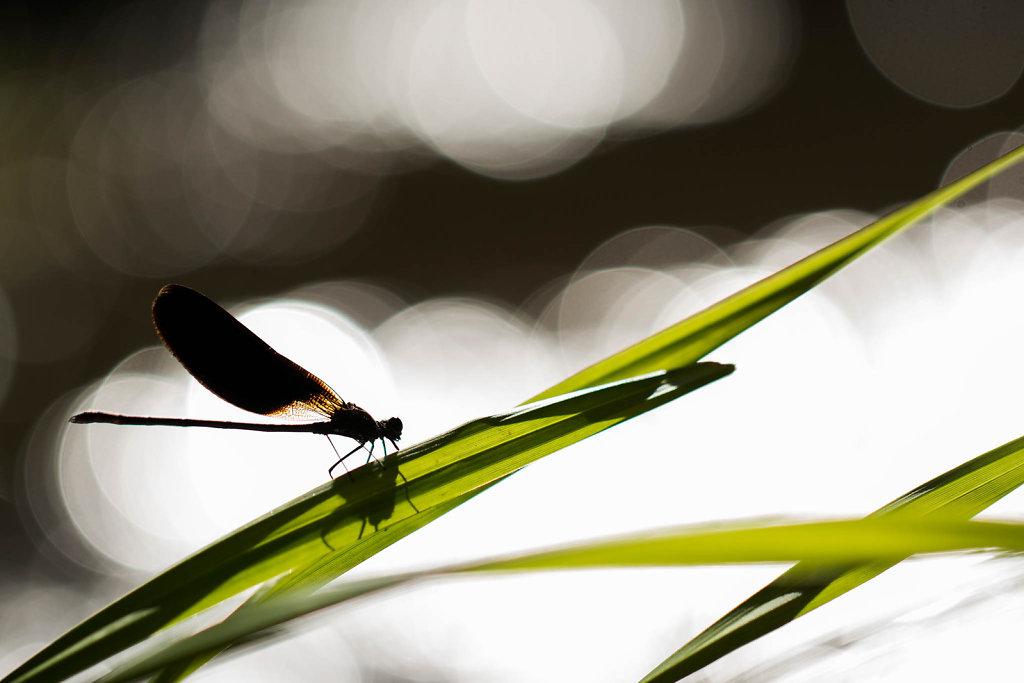 Petits dragons aux ailes de dentelle